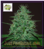 Cream of the Crop Auto Cropical Fruit Fem 5 Seeds